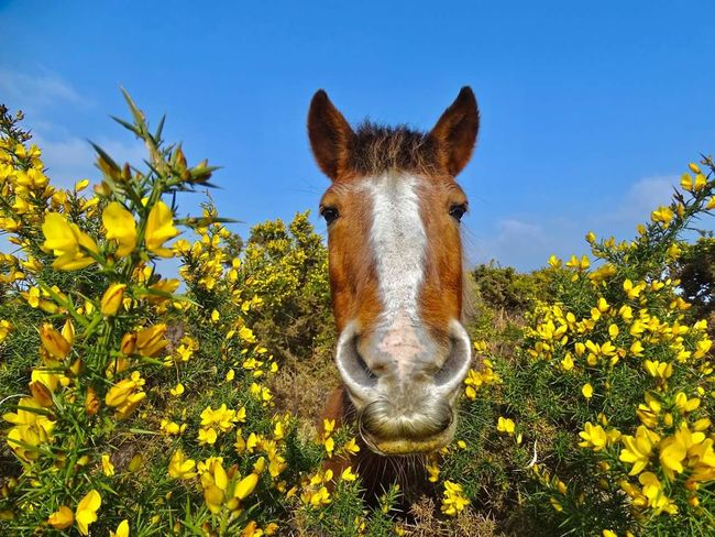 One Animal Animal Themes Sky Looking At Camera Front View Animal Growth Nature Portrait Outdoors Animals In The Wild Close-up Grass Mammal Trees And Nature New Forest, Hampshire. UK New Forest National Park New Forest Beauty In Nature Freshness Gorse Bush Gorse Flowers Horse Pony Springtime