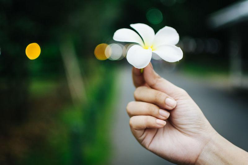 Cropped image of hand holding frangipani