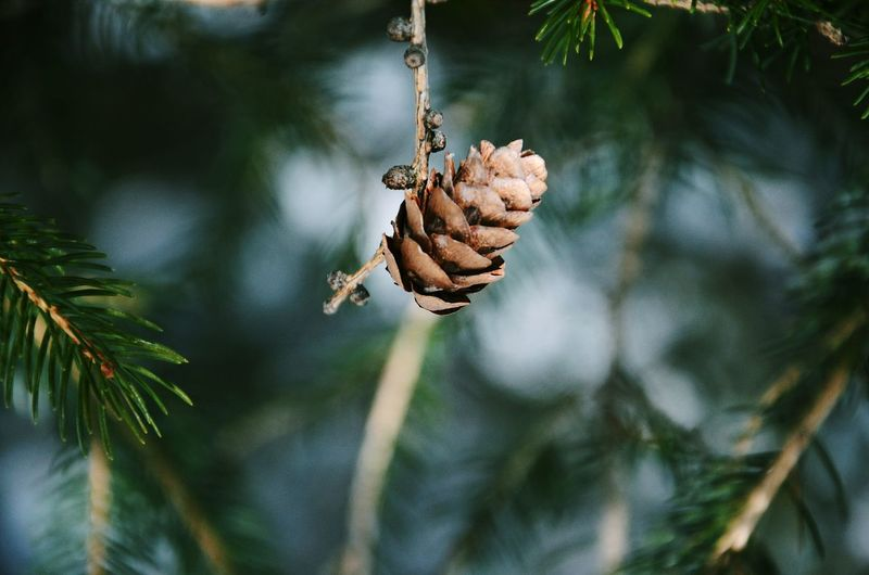 Close-up of dry pine cone