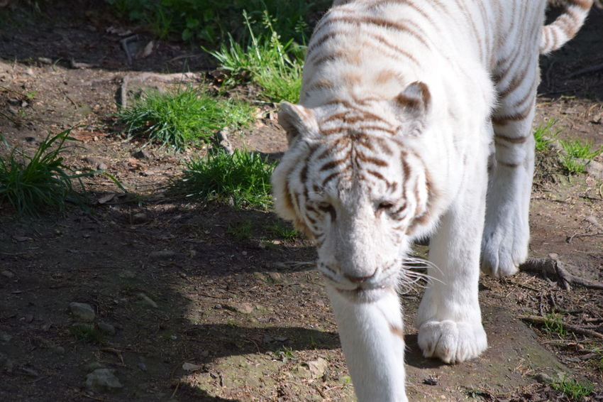 White Tiger Animal Themes Animal Wildlife Animals In The Wild Beauval Day Mammal Nature No People One Animal Outdoors Tiger White White Color White Tiger White Tiger Zoo