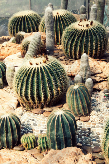 mini cactus Green Color Nature Plant Backgrounds Barrel Cactus Beauty In Nature Cactus Close-up Cute Day Field Growth High Angle View Land Large Group Of Objects Natural Pattern Nature No People Outdoors Plant Sharp Spiked Succulent Plant Sunlight Thorn