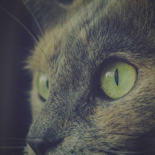 Cat Animal Cat Photography Cat Eyes Cat Closeup