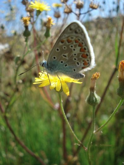 Himmelblauer Bläuling Schmetterling Animals In The Wild Beauty In Nature Butterfly - Insect Flower Flower Head Flowering Plant Insect Insekt Nature One Animal Outdoors