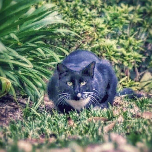 This guy keeping me company Brokenleg Catinahat Attackcat Panther hdr