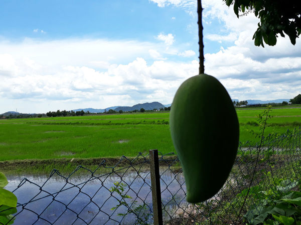 Beautiful Day EyeEmNewHere Sky And Clouds Beauty In Nature Close-up Environment Mango Fruit Outdoors Scenics - Nature Tranquil Scene
