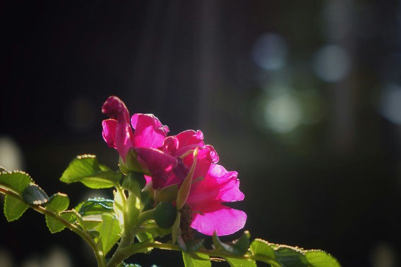 Roses Flowers Sunrays Reaching For The Sun EyeEm Best Shots Pink Beautiful Elegance Everywhere Getting Inspired Dreaming EyeEm Nature Lover Nature