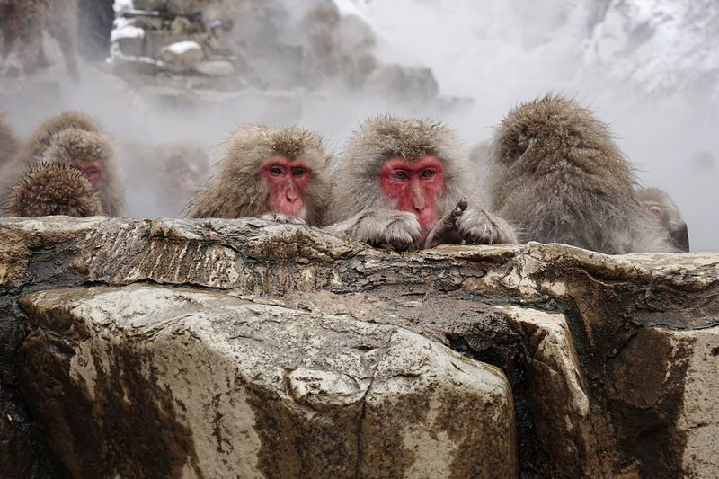 Snowing Japanese Macaque Animal Themes Animals In The Wild Cold Temperature Mammal Nature Hot Spring Monkey Winter No People Outdoors Day 12daysofeyeem Travel Destinations Snowmonkeys Snowing Tranquility Domestic Animals Steam at Jigokudani Monkey Park in Nagano, Japan Finding New Frontiers 地獄谷野猿公苑