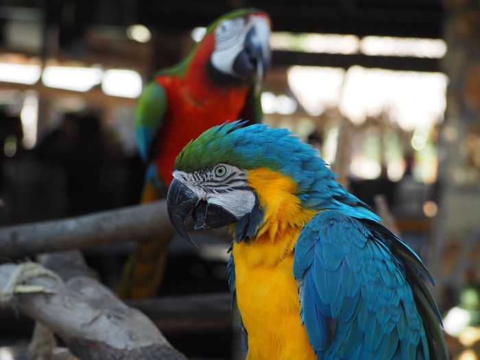 Close-up of macaws