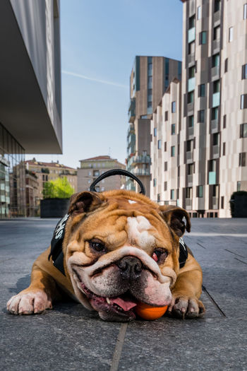 Bulldog Bulldog Milano Animal Animal Head  Animal Themes Architecture Building Building Exterior Built Structure Canine City Day Dog Domestic Domestic Animals Mammal No People One Animal Outdoor Photography Outdoors Outdoors Photograpghy  Pets Street