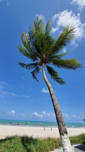 Coconut palm tree on beach against blue sky