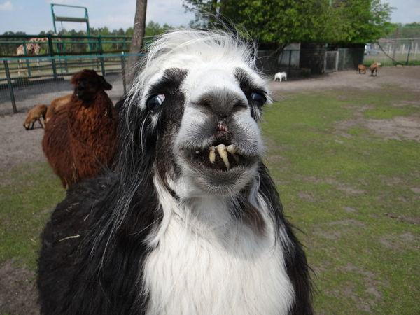 Alpaca Llama Lama Animal Themes Nature Animal Alpaka Toothy Smile Ugly Face Ugly Safaripark