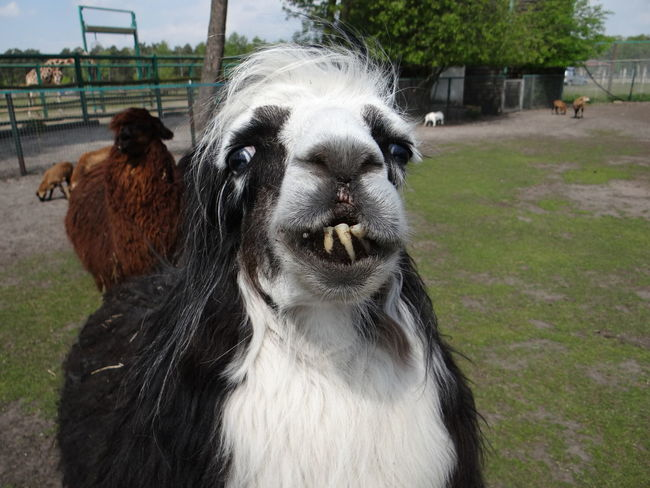 Alpaca Llama Lama Animal Themes Nature Animal Alpaka Toothy Smile Ugly Face Ugly Safaripark