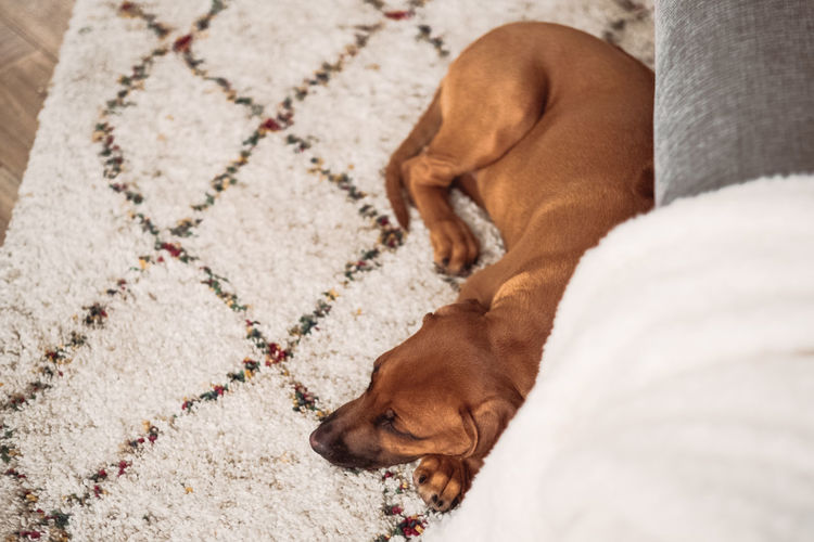 Dog Canine Pets Domestic Mammal Domestic Animals One Animal Animal Themes Animal Relaxation Sleeping High Angle View No People Dachshund Indoors  Lying Down Brown Eyes Closed  Resting Vertebrate