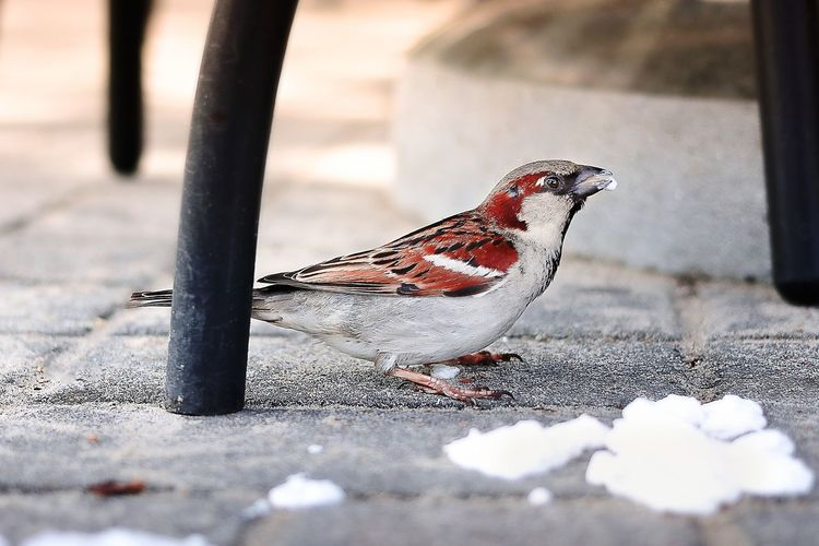 Close-up of sparrow feeding on food under chair on cobbled street