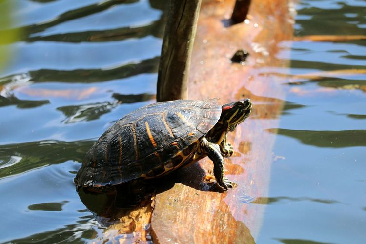 Side View Of A Turtle In Water
