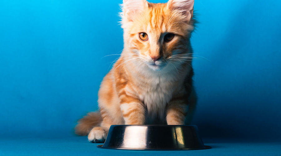 Close-up of ginger cat against blue background