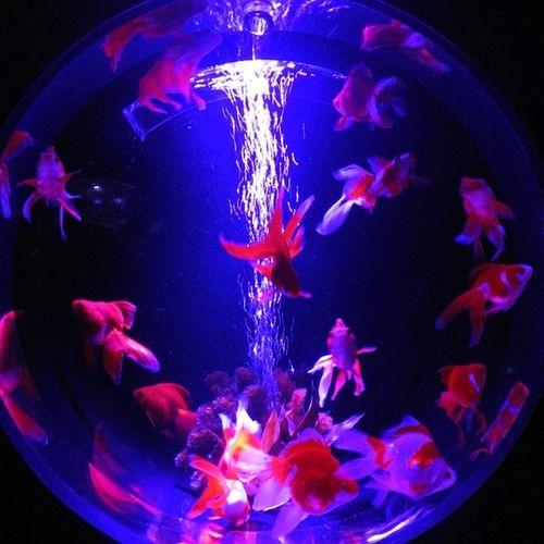 アートアクアリウム2014 金魚鑑賞で涼を取る♪ 写真は琉金 アートアクアリウム 金魚 夏 涼を取る 涼 江戸 コレド室町 artaquarium goldfish summer edo coredomuromachi