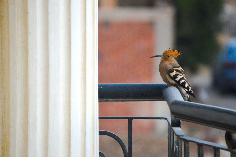 Hoopoe Bird In Egypt Animal Themes Animal Wildlife Animal Outdoors Africa Bird Bird Photography