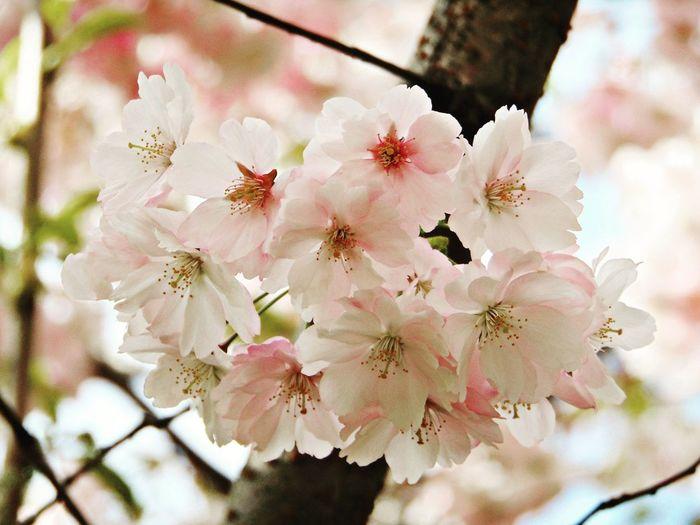 сакура Вишня дерево красота Природа Folowme Flowers