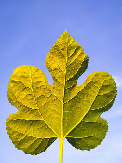 Close-up of autumnal leaves against clear blue sky