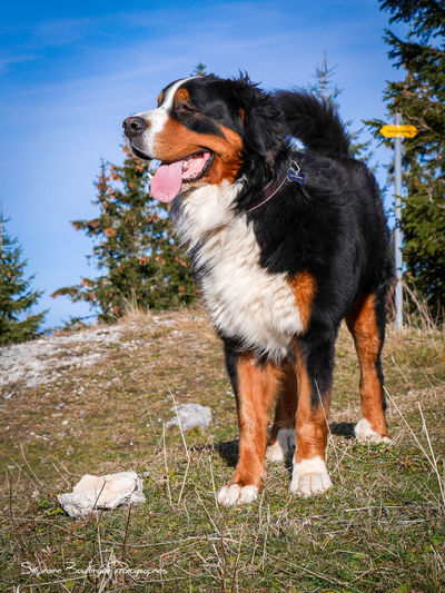 Animal Animal Photography Animals Animals In The Wild Big Dog Bouvier Bernois Chien Suisse Dog Domestic Animals Gros Chien Pets Swiss Dog Swiss Mountain Dog