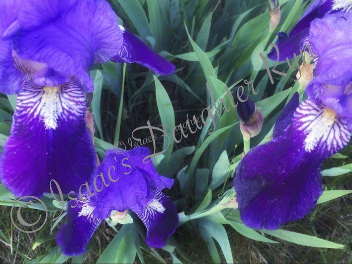 Iris. iPhone 6+ Purple Iris Purple Flower IPhoneography Nature