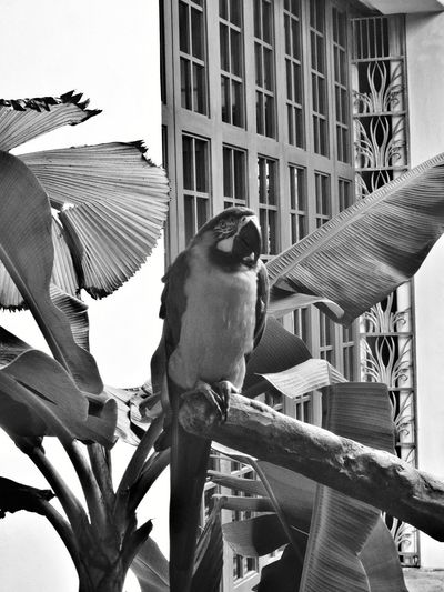 Blue And Gold Macaw Beak Greyscale Branch Black And White Black And White Photography Black & White Black And White Collection  Plant Life Playing With Filters Perching Bird Macaw Birds Of EyeEm  Bird Collection