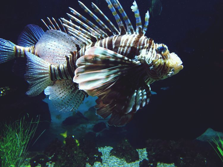 LionFish First Eyeem Photo Lionfish Fish Sea
