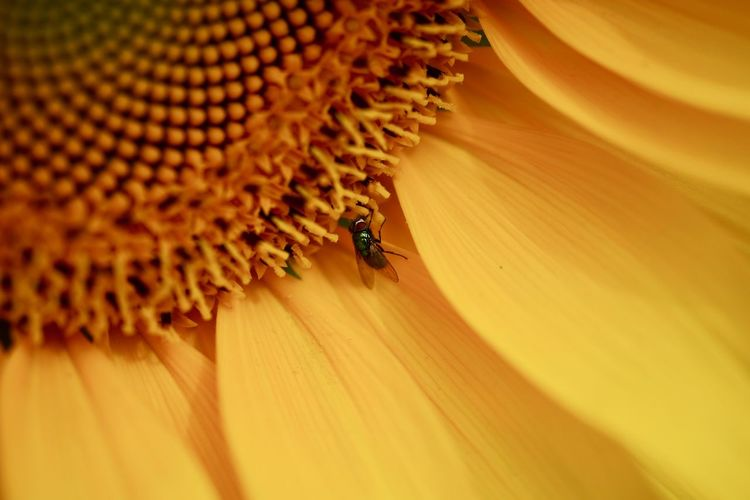 Close-up of fly pollinating on sunflower