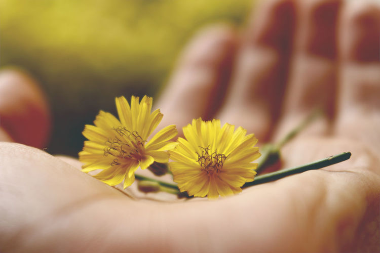Outlaying Yellow II Flower Head Outdoors Daylight Nature Yellow Flower Hands Holding Tiny Personal Perspective Spring Plant Palm Close-up