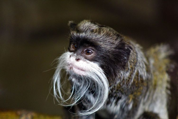 Animal Themes Close-up Day Emperor Tamarin Monkey Mammal Nature No People One Animal Outdoors