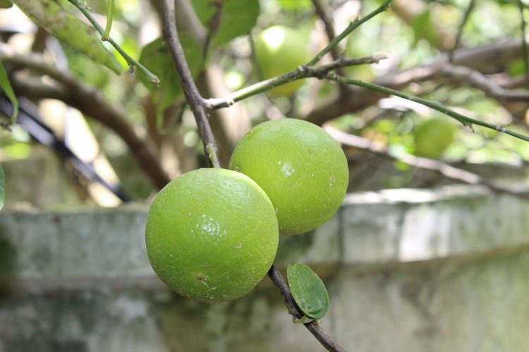 Close-up of fruits growing on tree