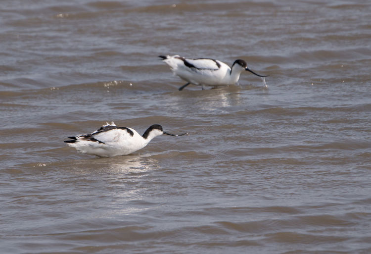 Tow avocets