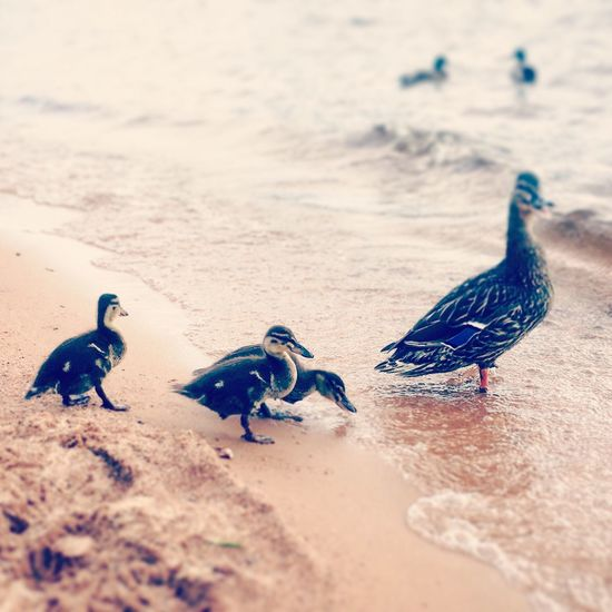 Bird Togetherness Animal Wildlife Nature Duckling Ducks