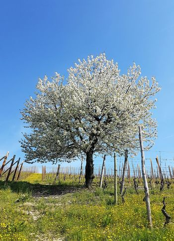 Growth Nature Sky No People Tree Day Outdoors Clear Sky Beauty In Nature Blossom Freshness Grass Langhe Piedmont Italy Clear Sky Tranquility Fragility Idyllic Sunlight Tranquil Scene Vineyard Abundance Rural Scene Agriculture Spring Blooms EyeEmNewHere