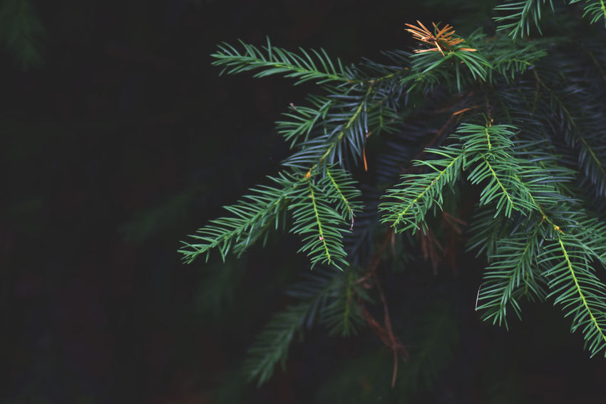 Beauty In Nature Branch Close-up Coniferous Tree Fir Tree Focus On Foreground Freshness Green Color Growth Leaf Nature Needle - Plant Part Night No People Outdoors Pine Tree Plant Plant Part Tranquility Tree
