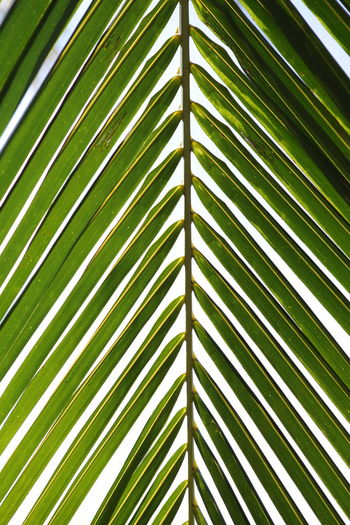 Backgrounds Beauty In Nature Close-up Day Frond Full Frame Green Color Growth Leaf Nature No People Outdoors Palm Leaf Palm Tree Plant Tree