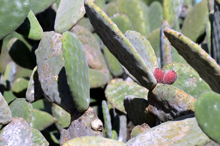 Auf dem Wanderweg von Romantica 2 zum Mirador San Pedro auf Teneriffa Canary Islands Beauty In Nature Cactus Close-up Day Green Color Growth Nature No People Outdoors Plant Prickly Pear Cactus Spiked Sunlight Tenerife Tenerife Island Teneriffa Thorn
