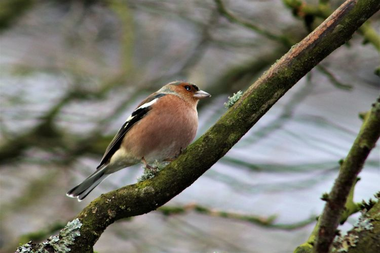 Vink in de winter - Finch in the winter garden Belgium Finch Animal Themes Animal Wildlife Animals In The Wild Beauty In Nature Belgie Bird Branch Close-up Day Finches Focus On Foreground Garden Nature No People One Animal Outdoors Perching Robin Tree Tree Trunk Vink Vinken