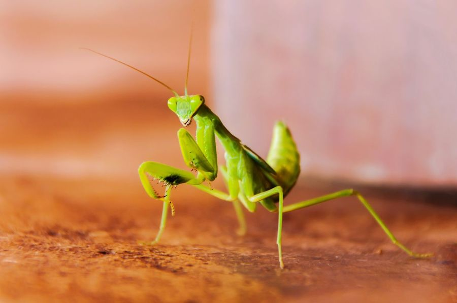 Animal Wildlife Insect Nature Mantis Religiosa Macro Photography Macro Macro Insects Close-up Outdoors Mantis Collections MantisReligiosa Mantis Pose Mantis In The Garden