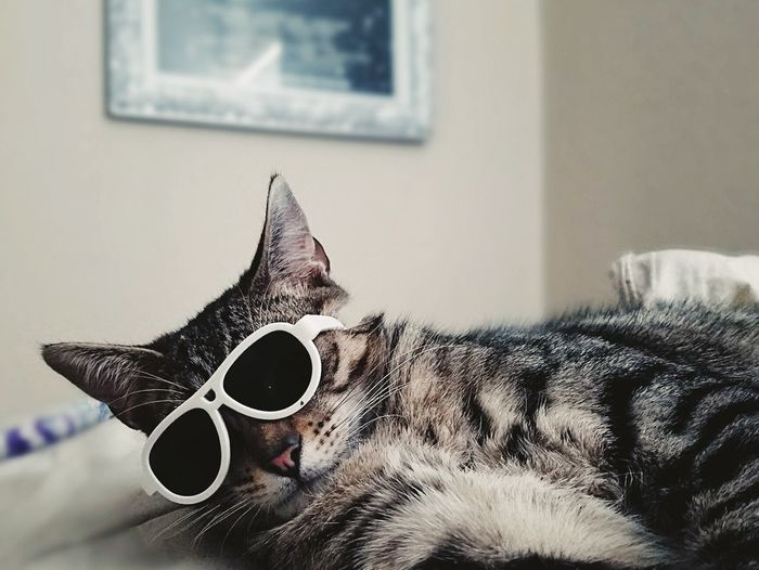 One Animal Pets Domestic Animals Indoors  Domestic Cat Animal Themes Home Interior Mammal No People Day Sunglasses Cat Fashion