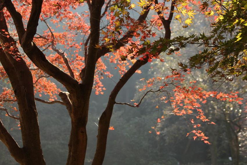 Kamakura Autumn Japan Japan Photography Leaves 🍁 Nature_collection Momiji