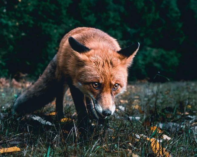 Close-up of fox on land