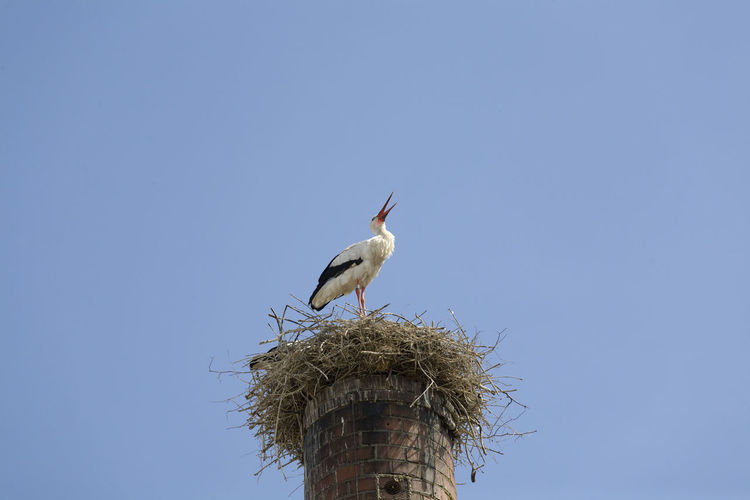 Nest Animal Animal Themes Animal Wildlife Animals In The Wild Bildfolge Bird Blue Clattering Clear Sky Day Low Angle View Nature No People One Animal Outdoors Photography Rattle Rattling Sky Stork White Stark Animal Nest Bird Nest