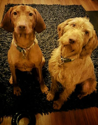 Reuben and Romeo.. brothers in arms. Cheese! Hungarian Vizsla Velcro ❤ Vizsla Life Dogsofinstagram Dogslife Vizslaoftheday Romeothevizsla