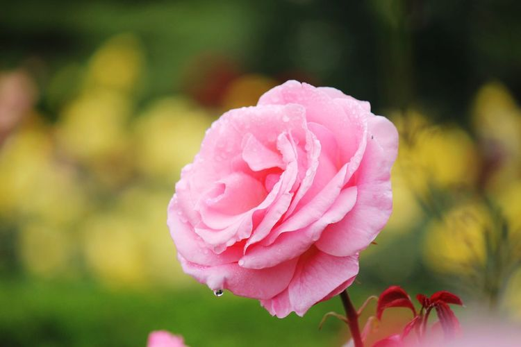 Close-up of pink rose blooming at field