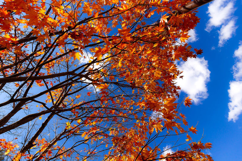 EyeEmNewHere Japan Travel Autumn Beauty In Nature Blue Branch Change Cloud - Sky Day Fall Flower Growth Low Angle View Maple Leaf Nature No People Orange Color Outdoors Plant Sky Sunlight Travel Destinations Tree Tree Canopy