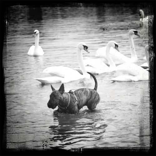 Bullterrier Swan Rhin France