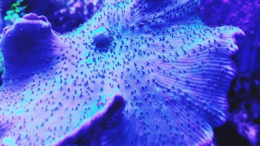 Ocean Reef Saltwater Oceanic Coral Macro Soft Coral Mushroom Coral Elephant Ear Coral Elephant Ear Mushroom Coral Violet Color Texture Water Blue Drop Close-up Sea Life Underwater UnderSea Ocean Floor