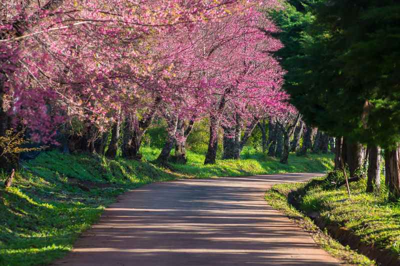 View of pink flowering trees in park
